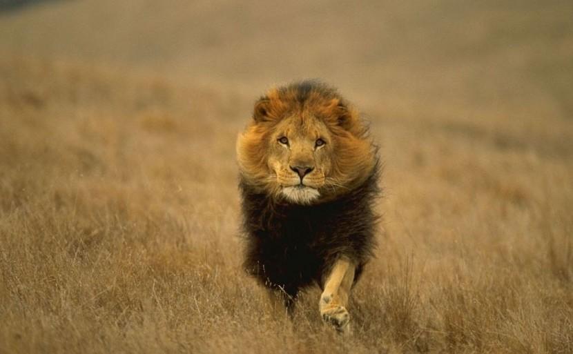 running-lion-107686